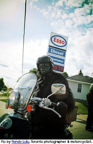 Gorilla on a scooter